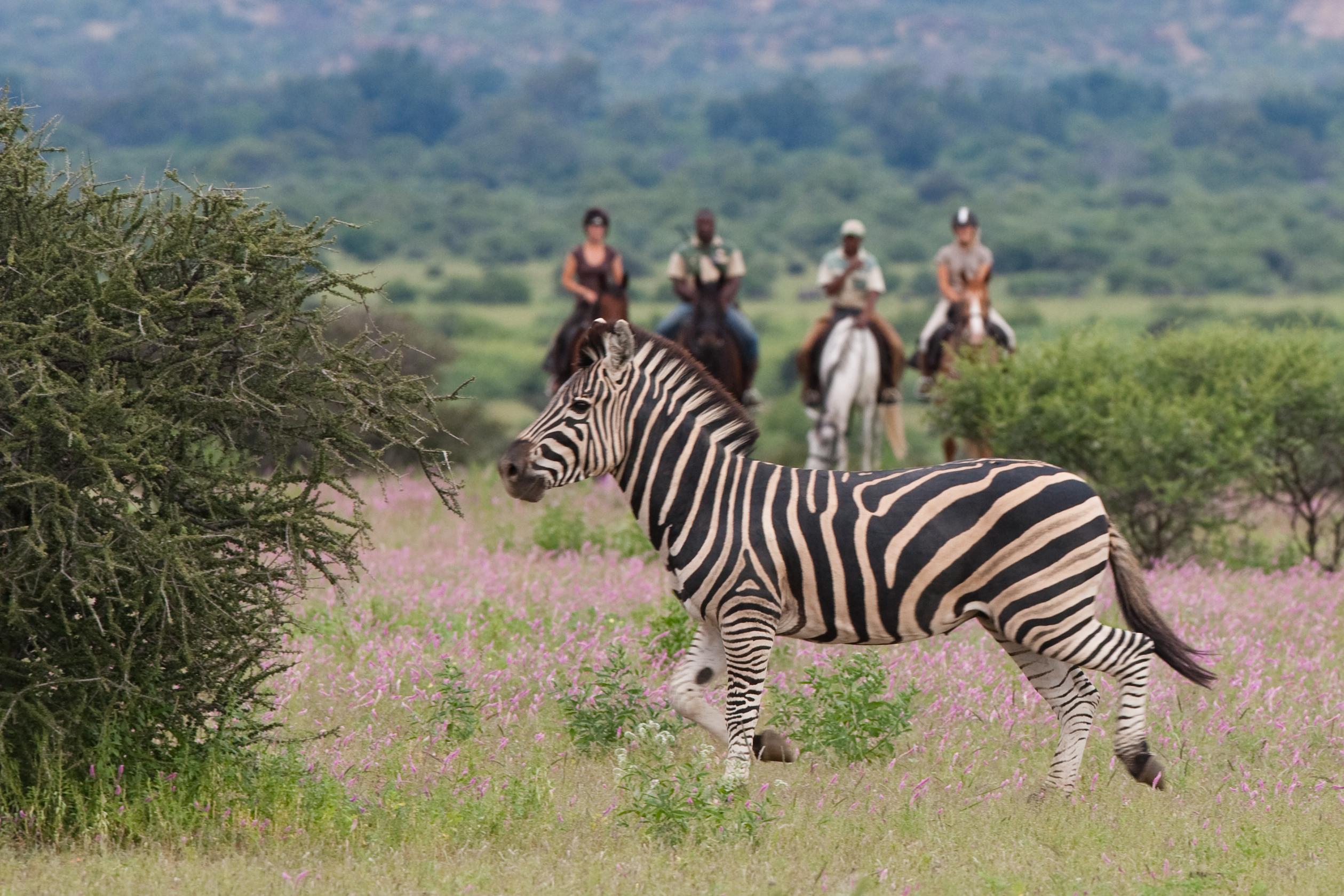Paard ontmoet zebra in Zuid Afrika - Vakantie te paard / Reisbureau Perlan
