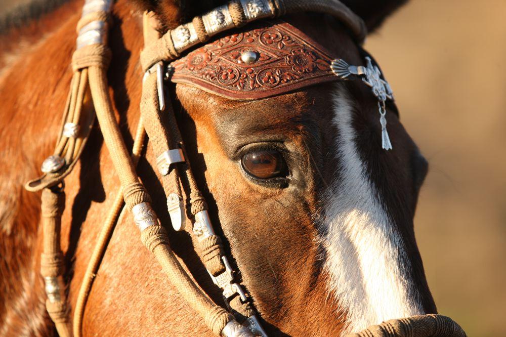 Rijden op Criollo's in Peru - Vakantie te paard / Reisbureau Perlan