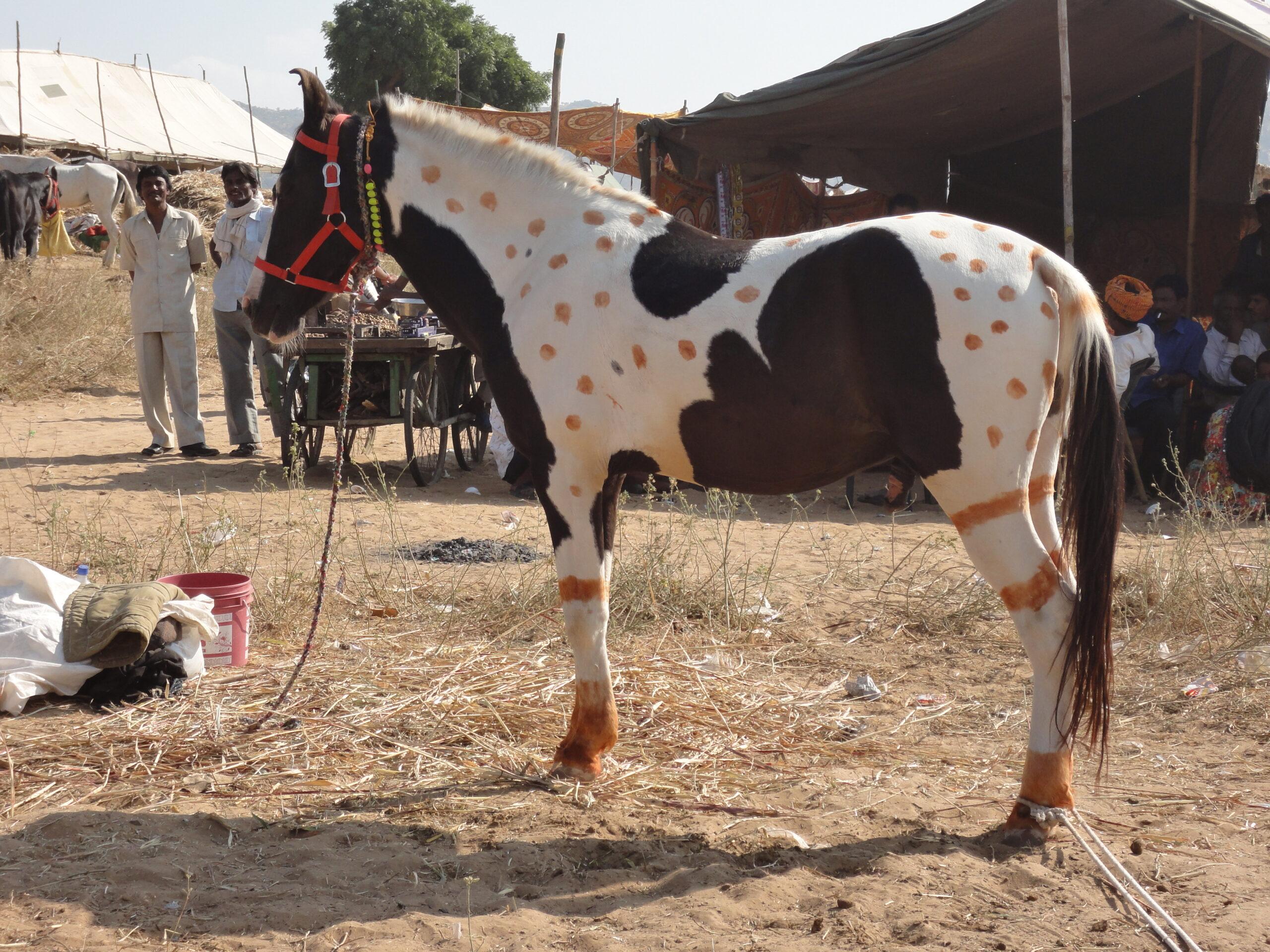 Paardrijden in India - Vakantie te paard / Reisbureau Perlan